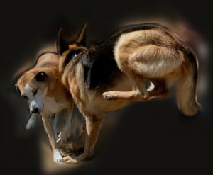 deux chiens se percutent