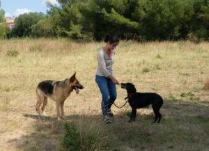 Pointer anglais et berger allemand autour d'un éducateur canin
